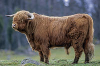 Highland Cattle, young bulls would dominate adult cows when they 2 years of age