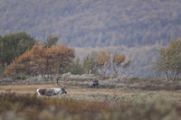 Reindeer were 1952 introduced into the Cairngorms