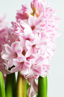 pink hyacinth in spring