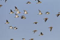 European Golden Plover is a fully migratory bird
