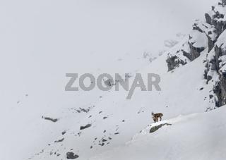 Alpensteinbock (Capra ibex), Geiß mit Jungtiere, Nationalpark Hohe Tauern, Kärnten, Österreich, Europa