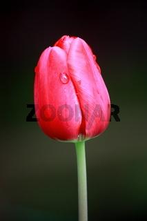 Tulpenknospe, rot, oval