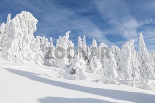 Vereiste Tannen im Bayerischen Wald