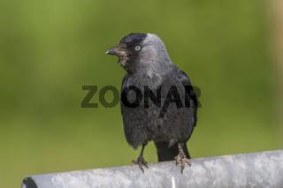 Dohle (Corvus moledula)