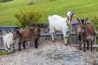 Goat family on a mountain farm