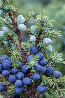 Juniper the cones need more than to ripe