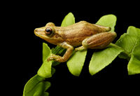 Red-snouted Treefrog (Scinax ruber), Ecuador