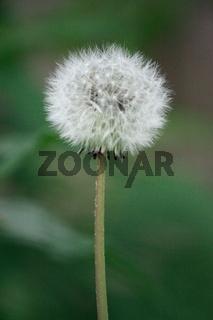 runde Pusteblume, Löwenzahn an langem Stiel