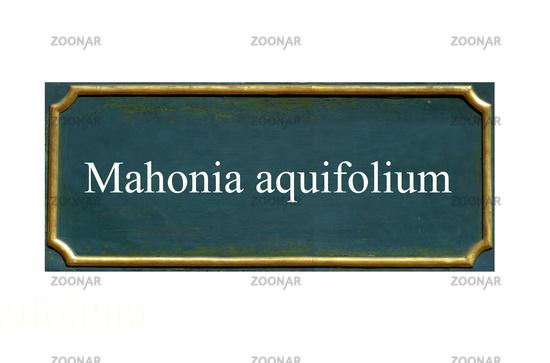 shield Mahonia aquifolium