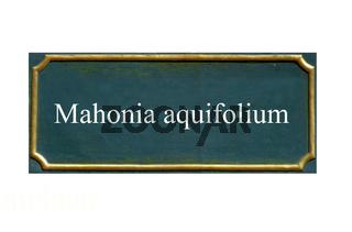 schild Mahonia aquifolium, Gewoehnliche Mahonie