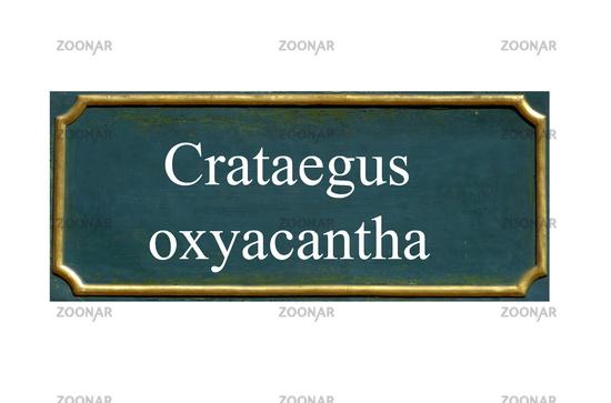 shield crataegus oxyacantha