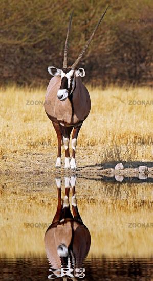 Gemsbok, Botsuana