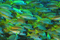 School of Bluestripe Snappers