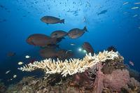 Grauer Doktorfische am Riff, Australien
