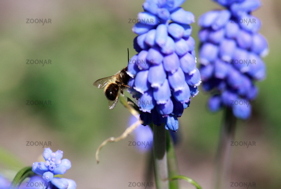 Grape with bee