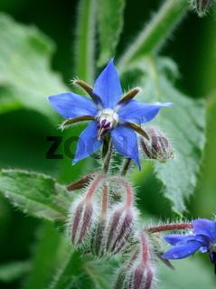 Borretschblüte, blauer Stern