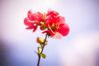 Flower of flowering quince