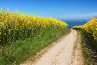 Feldweg durch Rapsfelder an der Ostsee