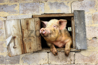 pig looks from window of shed