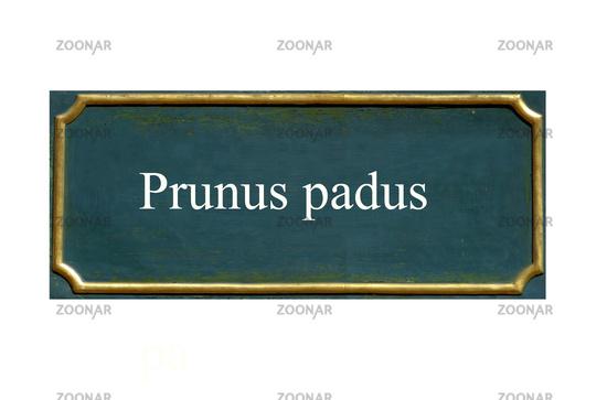 shield prunus padus,bird cherry