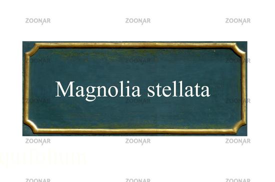 shield Magnolia stellata