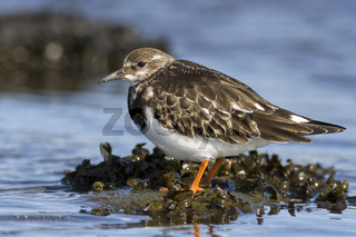 Young Turnstone which stands in the water autumn day