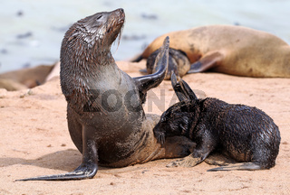 Südafrikanischer Seebär, Arctocephalus pusillus, Kreuzkap Namibia, South African fur seal, cape cross