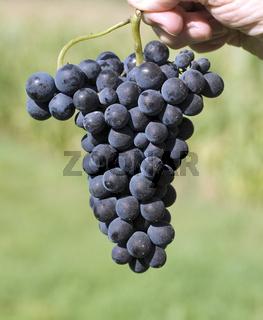 Merlot, Rotweinsorte, Merlot Noir, Bordeaux, Rotwein