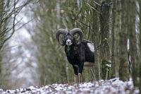 Europaeischer Mufflon
