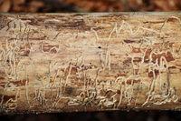 Baumstamm mit Borkenkäferspuren - Bark beetle traces