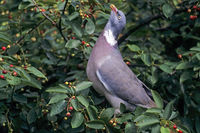 Common Wood Pigeon has a size at 38 to 44cm