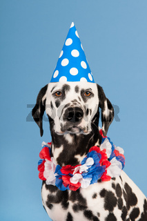 Dalmatian dog as birthday animal on blue background