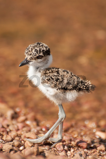 Lapwing chick on pebble beach by lake Victoria
