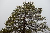 Pine tree in autumn. Latvia, Northern Europe
