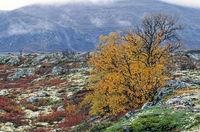 Birken mit Herbstlaub in der Tundra / Tundra with birches in autumn / Dovrefjell-Nationalpark  -  Soer Trondelag Norwegen