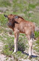 very young wildebeest, Etosha, Namibia