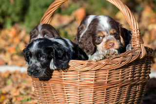 English Cocker Spaniel puppy in basket