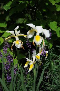 Iris orientalis, Syn. ochroleuca, Orientalische Schwertlilie,Turkish iris
