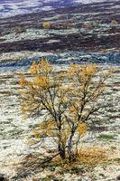 Birke mit Herbstlaub in der Tundra / Tundra with birch in autumn / Dovrefjell-Nationalpark  -  Soer Trondelag Norwegen