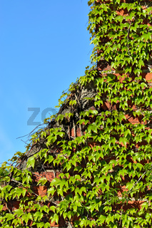 Wild grapes on the old brick wall