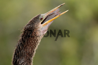 Anhinga swallowing fish