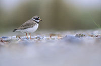 Ringed Plover forage for food on beaches