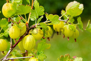 Grows ripe gooseberries on a branch.