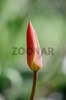 Tulpenknospe, rot mit gelb, spitz zulaufend