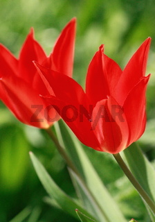 Tulpe, leuchtend rote