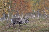 Reindeer mainly eat Reindeer Lichens in winter