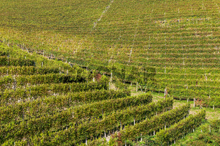 Autumnal vineyards of Piedmont.