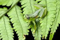 Wayampi Glassfrog (Vitreorana oyampiensis),Ecuador