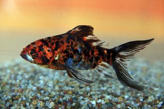 Shubunkin Goldfisch, Carassius auratus, goldfish