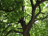 Trompetenbaum Ecke Grindelallee und Schlump in HH